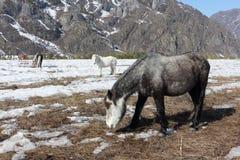 De paarden weiden op een sneeuwopen plek onder bergen Stock Afbeeldingen