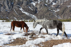 De paarden weiden op een sneeuwopen plek onder bergen Royalty-vrije Stock Afbeelding