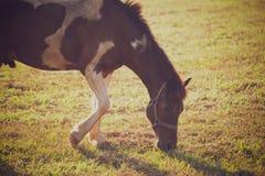 De paarden weiden op het landbouwbedrijf en de zonneschijn in de avond royalty-vrije stock foto