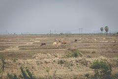 De paarden zijn in droge weiden royalty-vrije stock afbeelding