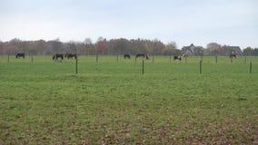 De paarden zijn geweid op een weide in de mistige de herfstmiddag Nedersaksen stock video