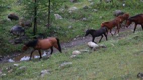 De paarden zijn op de bergweg stock video
