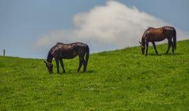 De paarden zijn op de heuvel stock fotografie