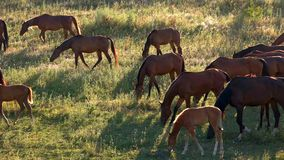De paardengang en eet gras stock footage