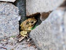 De pad hiberneert royalty-vrije stock foto's