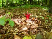 De paddestoel Archer stalt in de zomerbos uit royalty-vrije stock fotografie