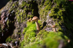 De paddestoel groeit in de herfstbos Stock Fotografie