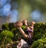 De paddestoel groeit in de herfstbos Stock Afbeelding