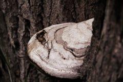 De paddestoel groeit op een boom stock afbeelding
