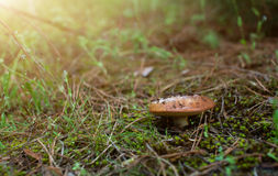 De paddestoel in het groene bos Royalty-vrije Stock Fotografie