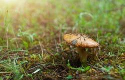 De paddestoel in het groene bos Stock Afbeelding
