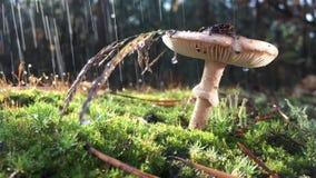 De paddestoel van amanietphalloides, giftig onderwerp in wilde berg dichte omhooggaand op een regenachtige dag stock video