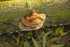 de Paddestoel van 1725.Daedaleopsis Confragoso. Royalty-vrije Stock Fotografie