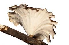 De paddestoel van de boom die op wit wordt geïsoleerde. Royalty-vrije Stock Afbeelding