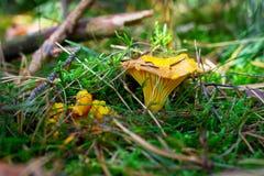 De paddestoel van de cantharel in het bos Stock Afbeeldingen