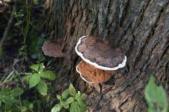 De paddestoel van de de herfststeun Royalty-vrije Stock Foto's