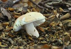 De paddestoel van de Flirt - vesca Russula stock fotografie