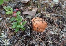 De paddestoel van de geboorteboleet (Leccinum-aurantiacum) naast een kleine struikamerikaanse veenbessen Royalty-vrije Stock Foto's