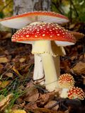 De paddestoel van de giftige paddestoel Royalty-vrije Stock Foto