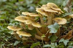 De Paddestoel van de honing - mellea Armillaria Royalty-vrije Stock Afbeeldingen