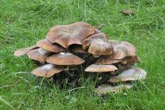 De Paddestoel van de honing - mellea Armillaria Stock Afbeeldingen