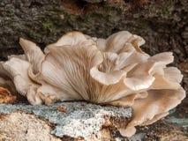 De paddestoel van de oester (ostreatus Pleurotus) Stock Afbeelding