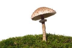 De paddestoel van de parasol Stock Fotografie