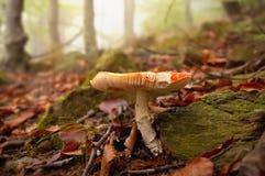 De paddestoel van de vliegplaatzwam in het mistige bos Stock Afbeelding