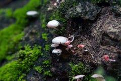 De paddestoel van Galerinahypnorum Stock Foto