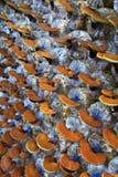 De paddestoel van Ganodermalucidum Royalty-vrije Stock Foto