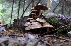 De paddestoel van het Bosje van de baksteen Royalty-vrije Stock Afbeelding