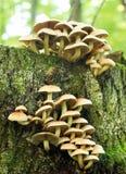 De paddestoel van het Bosje van de zwavel Stock Fotografie
