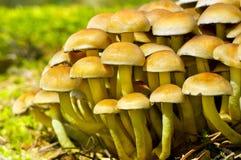 De paddestoel van het Bosje van de zwavel (Hypholoma fasiculare) Stock Fotografie