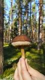 De paddestoel van het eekhoorntjesbrood Stock Fotografie