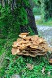 De paddestoel van paddestoelpaddestoelen op een boom bij het bos Stock Afbeeldingen