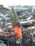 De paddestoel van Stinkhorn van de hond Royalty-vrije Stock Afbeeldingen