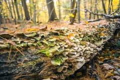 De paddestoelen groeit langs een gevallen boom in de herfstbos stock afbeeldingen