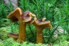De paddestoelen van cantharelpaddestoelen Royalty-vrije Stock Fotografie