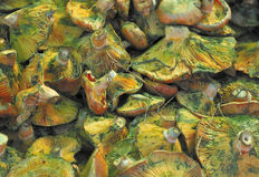 De Paddestoelen van de lactarius deliciosus Stock Foto's