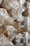 De paddestoelen van de oester in het kweken van zak stock fotografie