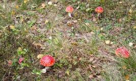 De paddestoelen van de vliegplaatzwam in het gras Royalty-vrije Stock Fotografie