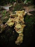 De paddestoelen van een bizarre vorm groeien op een boom en kijken als een spook Stock Afbeelding