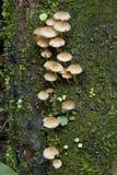De paddestoelen van het regenwoud Stock Afbeelding