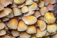 De paddestoelen van het zwavelbosje (Hypholoma fasciculare) Royalty-vrije Stock Foto