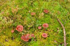 De paddestoelen van Milkcap in het mos Stock Foto