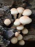 De paddestoelen van Puffball op dode boom stock afbeeldingen