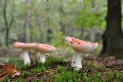 De paddestoelen van Redish in het bos Royalty-vrije Stock Afbeeldingen