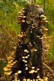 De paddestoelen van Sulphurtuff op een boomstomp 3 Stock Afbeelding