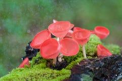 De paddestoelen vormen rode paddestoel of champagnepaddestoelen tot een kom Royalty-vrije Stock Foto