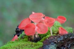 De paddestoelen vormen rode paddestoel of champagnepaddestoelen tot een kom Stock Afbeeldingen